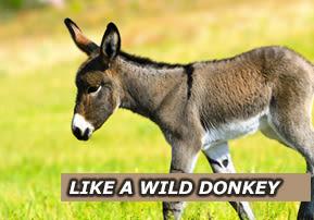 Like a Wild Donkey