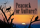 Toldot: Peacock or Vulture