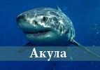 Акула (Хукат)
