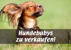 Hundebabys zu verkaufen!