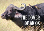 The Power of an Ox