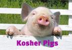 Kosher Pigs