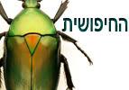 החיפושית