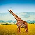 Почему не прав жираф?