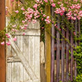 A Fence of Roses