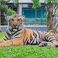 Parshat Breishit | Taming the Tiger